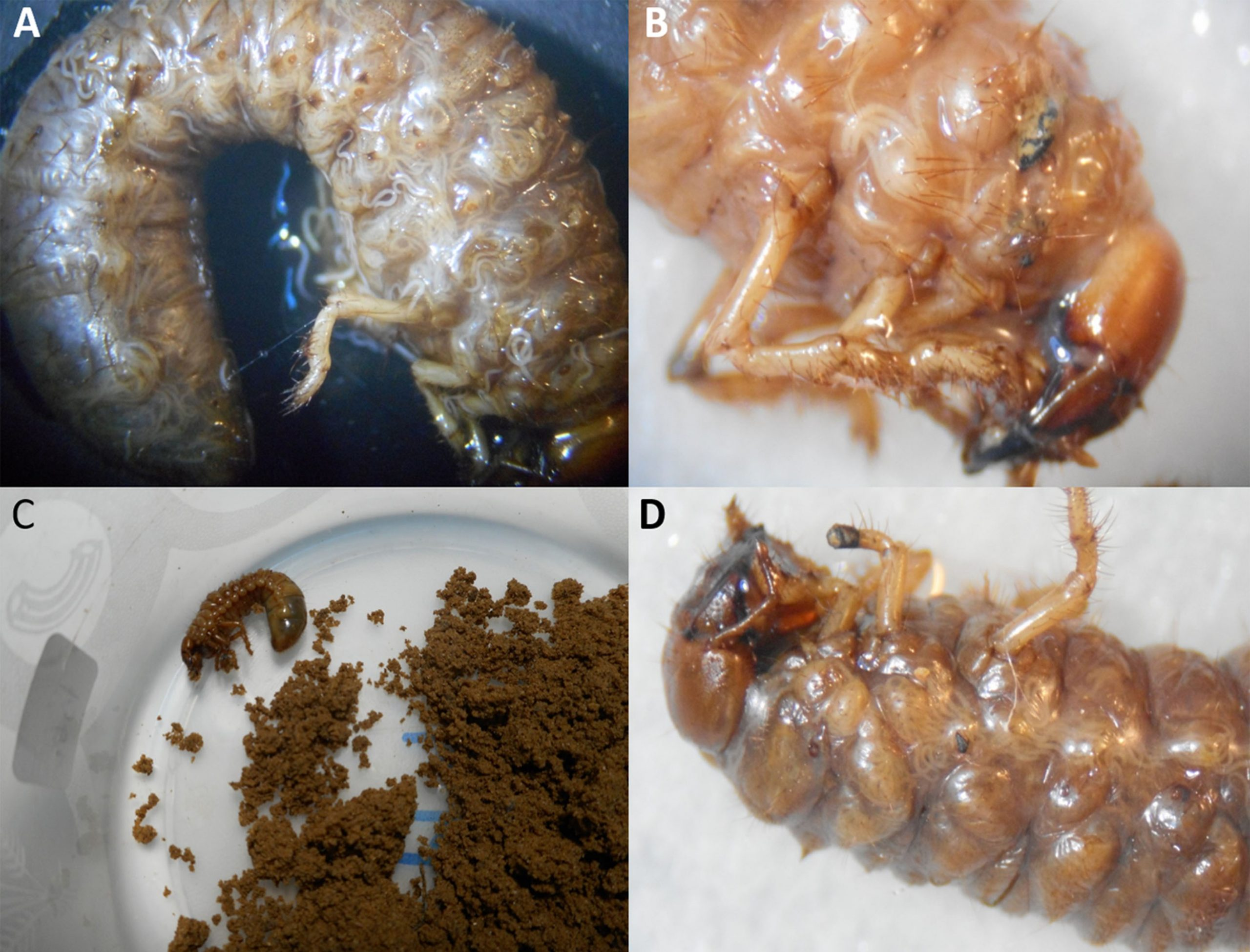 Entomopathogenic Nematodes to control White grubs